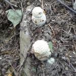 白いきのこの幼菌。これは毒らしい。